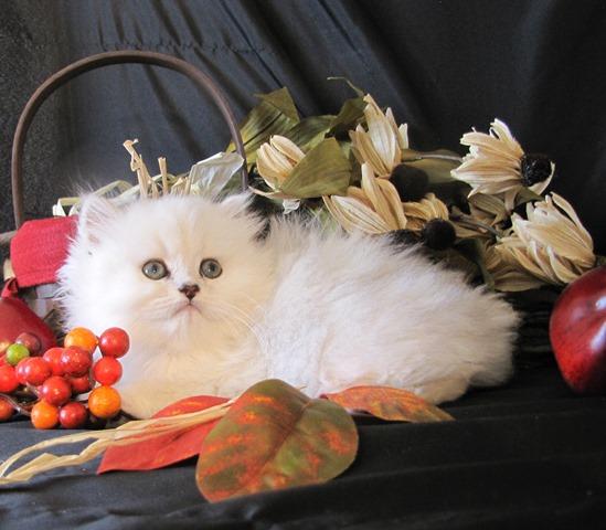 Angelo-chinchilla-silver-kitten-for-sale.jpg