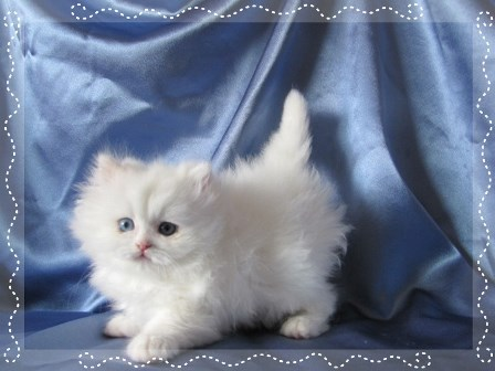 Persian Kitten For Sale - Bowie