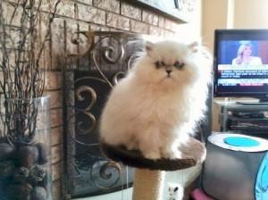 Buy Persian Kittens from Treasured Kittens